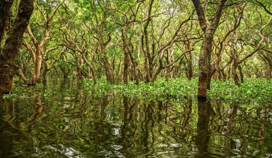 mangrovie
