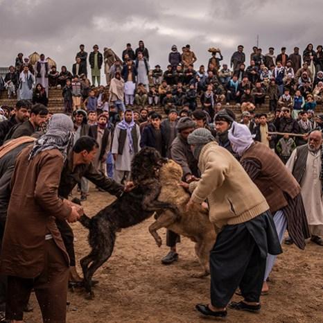 در میدان سگجنگی افغانها، فقط سگها نمیجنگند