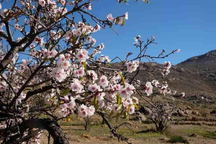 Amandier en fleurs Anti-Atlas Maroc ©Etpourtantelletourne.fr