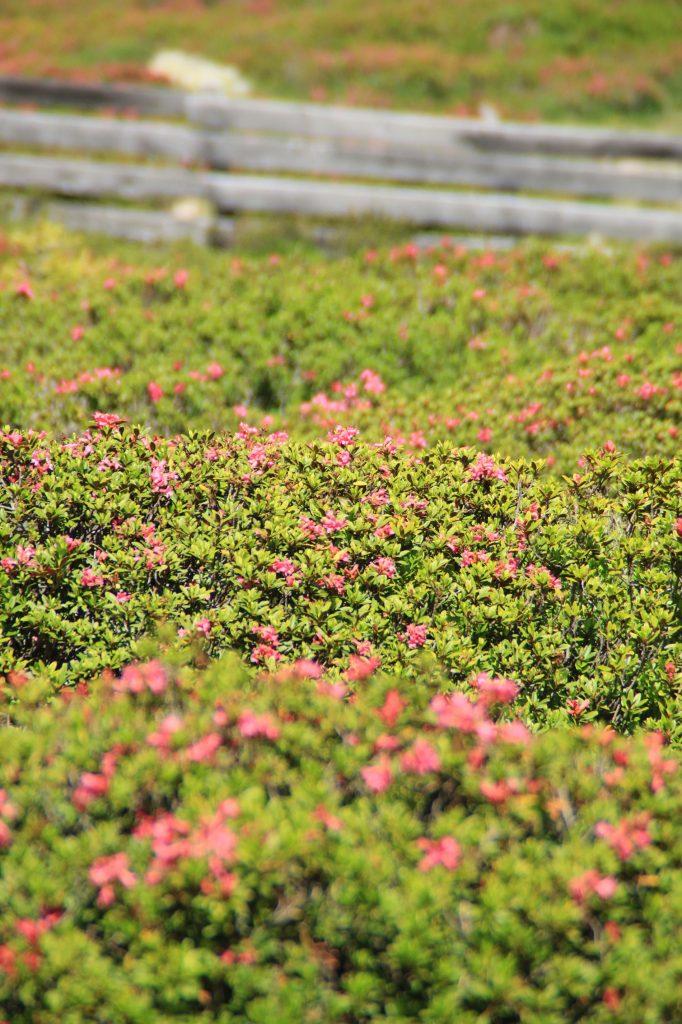malga rosa alpina