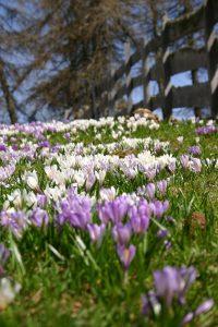 in primavera fioriscono i crochi sull'alpe di meltina