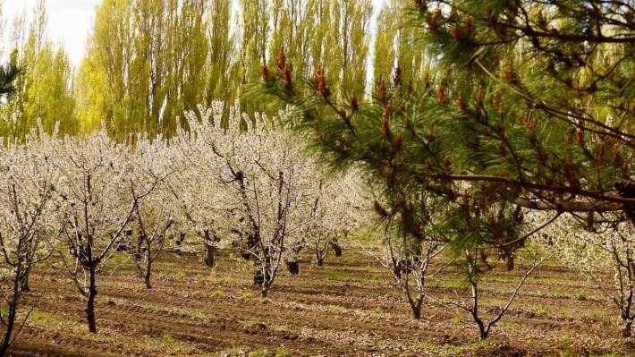 Descente au bout du monde - Cerisiers