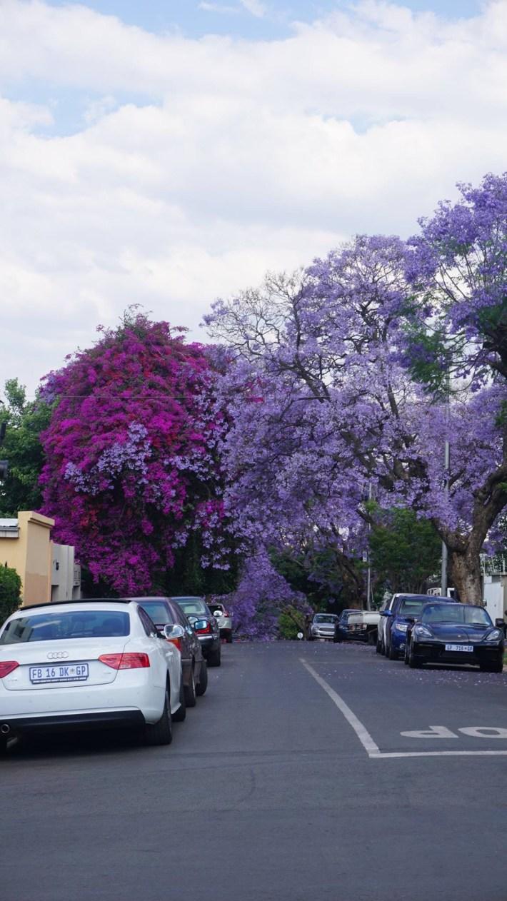 On part à la chasse aux photos dans le Kruger en Afrique du Sud - Arbres en fleurs