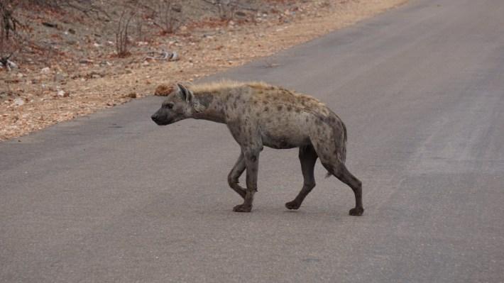 On part à la chasse aux photos dans le Kruger en Afrique du Sud - La hyène