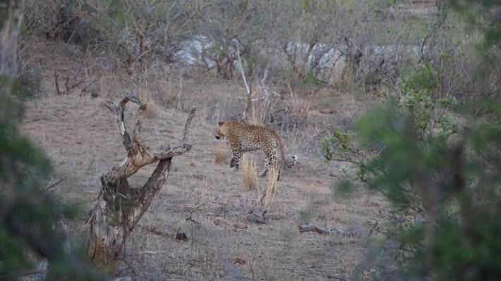 On part à la chasse aux photos dans le Kruger en Afrique du Sud - Un léopard