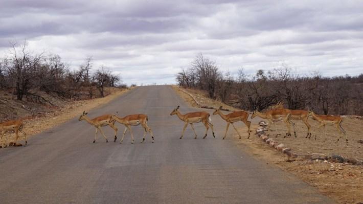 On part à la chasse aux photos dans le Kruger en Afrique du Sud - Le troupeau