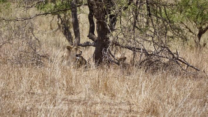 On part à la chasse aux photos dans le Kruger en Afrique du Sud - Un bébé lion
