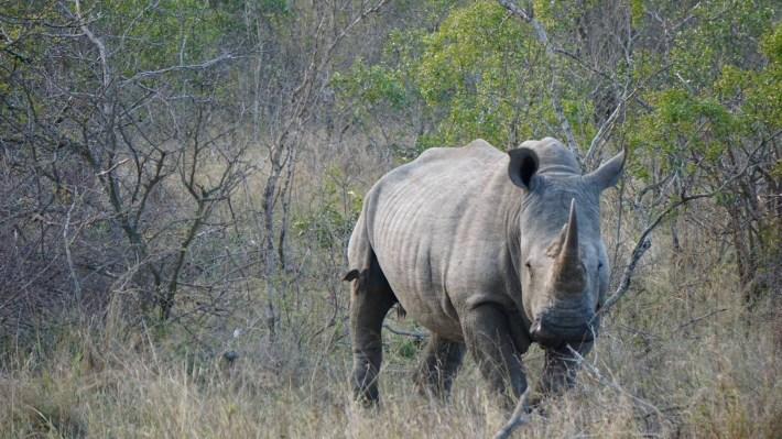 On part à la chasse aux photos dans le Kruger en Afrique du Sud - Un premier rhino