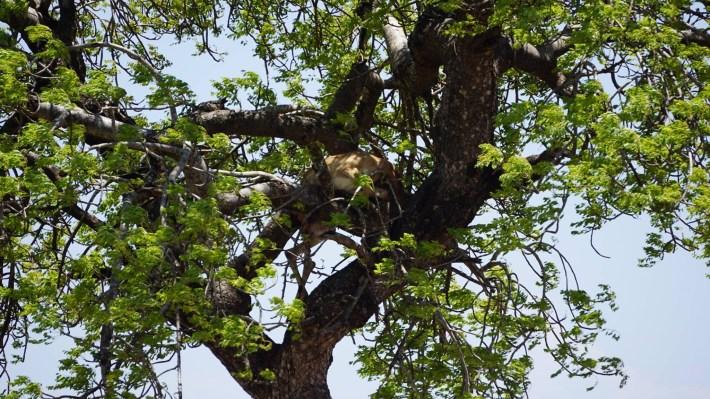 On part à la chasse aux photos dans le Kruger en Afrique du Sud - La proie d'un léopard