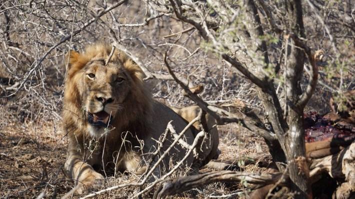 On part à la chasse aux photos dans le Kruger en Afrique du Sud - Un lion