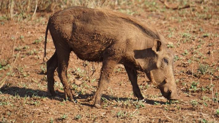 On part à la chasse aux photos dans le Kruger en Afrique du Sud - Pumbaa