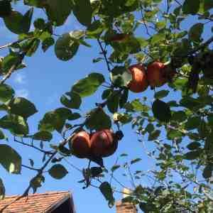 Fruits of Zoar