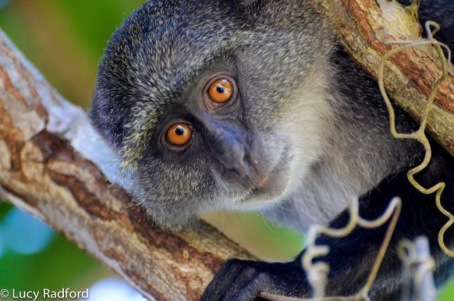 Primate tourism boosts Uganda's economy by USD 16 million every year