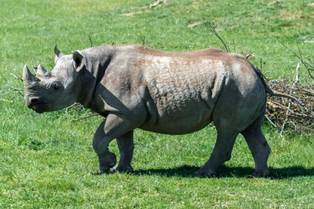 World's oldest black Rhino dies in Tanzania