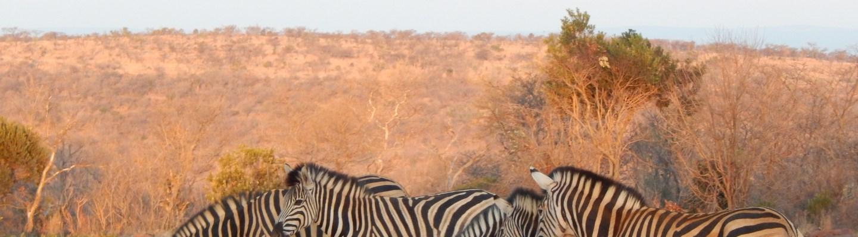 Zebra 'crossing' at Welgevonden Game Reserve (Copyright: Eugene Yiga)