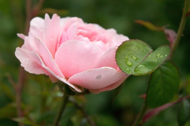 RoseGarden5