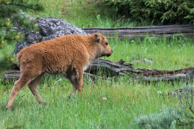 2016-06-10 Yellowstone-57