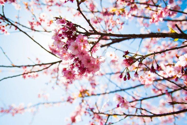 Cherry blossoms in Cingjing Taichung Taiwan
