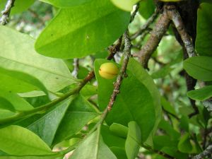Coca leaves and fruit