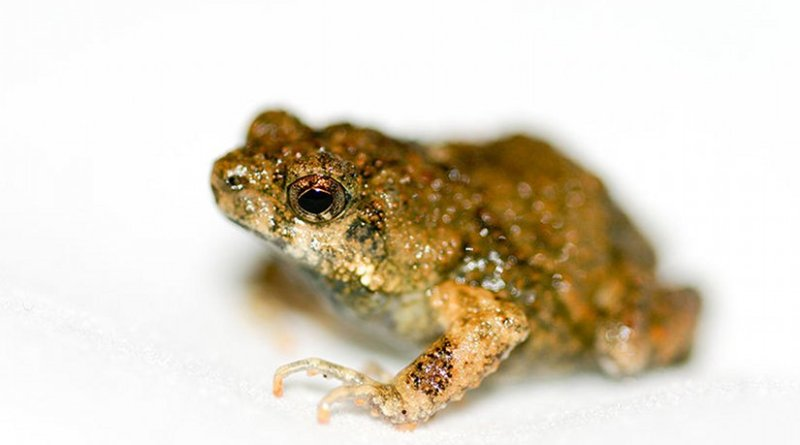Túngara Frog. Photo by Brian Gratwicke, Wikipedia Commons.