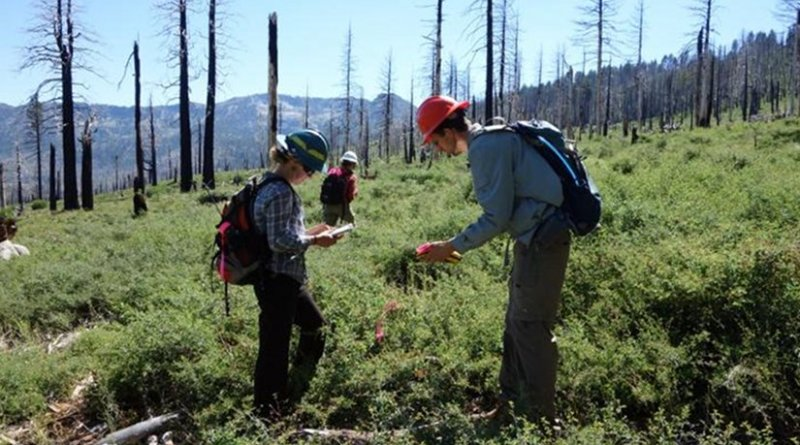 Researchers, including UC Davis postdoctoral student Jens Stevens, right, examine a site burned by 2007's Angora Fire. Their study found that as tree canopy is disturbed, southern plant species are moving in to replace the forest floor. Credit Andrew Latimer/UC Davis