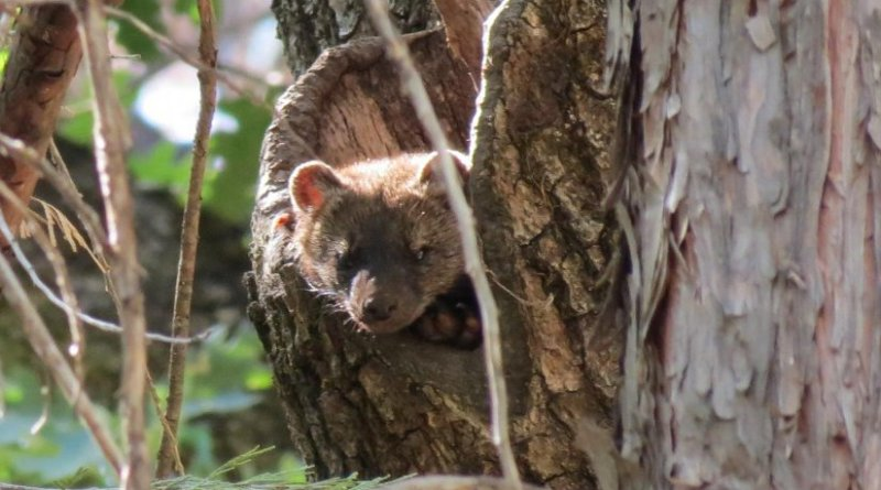A fisher kit climbs a tree. Poisons used on illegal marijuana farms continue to threaten fishers in California. Credit: U.S. Forest Service