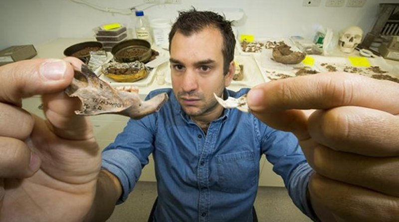 Dr. Julien Louys holds the jaw bone of a giant rat species discovered on East Timor, up against a comparison with the same bone of a modern rat. Credit: Stuart Hay, ANU