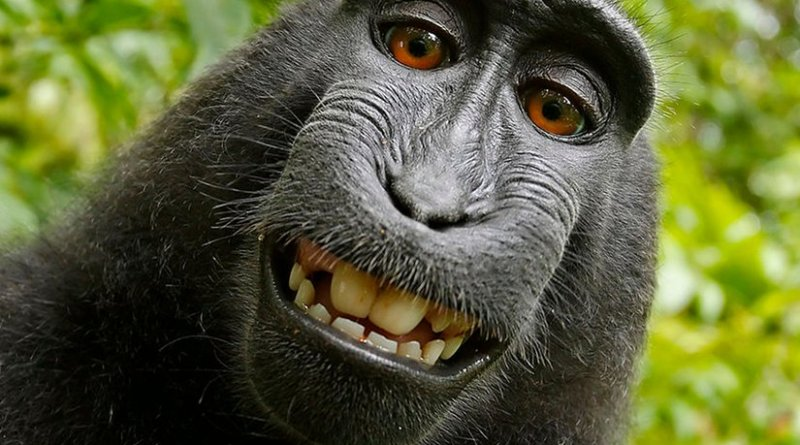 Self-portrait of a female Celebes crested macaque (Macaca nigra) in North Sulawesi, Indonesia, who had picked up photographer David Slater's camera and photographed herself with it.