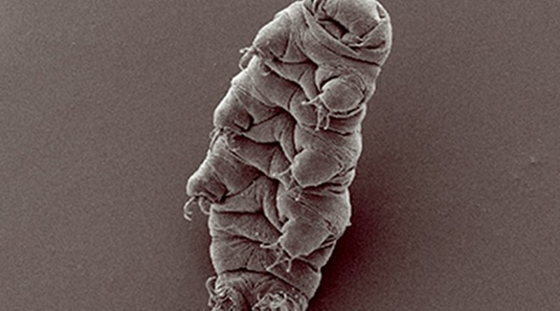 An example of a tardigrade or waterbear. Photo by Bob Goldstein and Vicky Madden, UNC Chapel Hill, Wikipedia Commons.