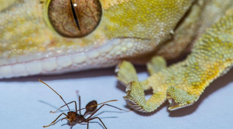 This image shows a gecko and ant. Credit: Image courtesy of A Hackmann and D Labonte