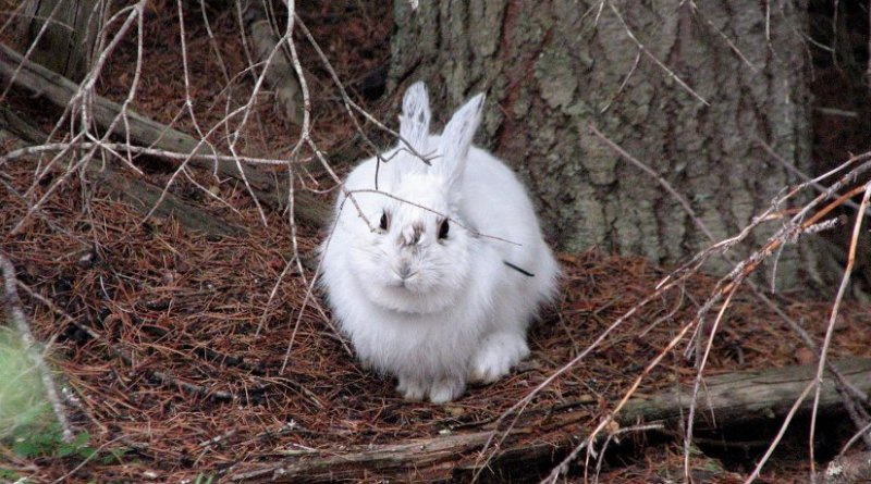 """White snowshoe hares stand out like """"light bulbs"""" against a snowless background in Montana. The mismatched hares were part of study of climate change effects on snowshoe hares, which camouflage themselves by changing coat colors from brown to white in winter. Credit: L. Scott Mills research photo"""