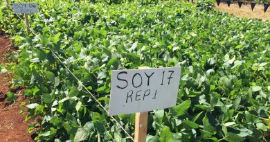 Soybean trial in Africa