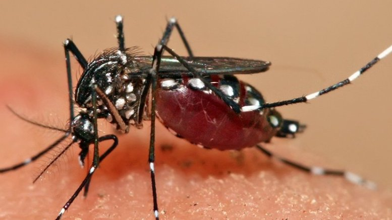 An Aedes aegypti mosquito. Photo by Muhammad Mahdi Karim, Wikipedia Commons.
