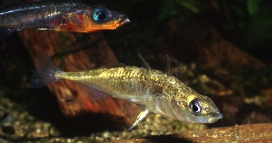 Two species of endangered stickleback fish went extinct in Enos Lake on Vancouver Island, Canada. Credit Ernie Cooper