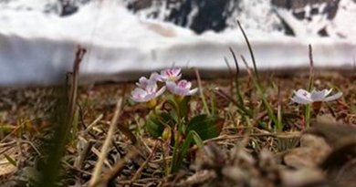 Studying the western spring beauty wildflower, Dartmouth College's Zak Gezon and his colleagues found that climate change may harm early-flowering plants not through plant-pollinator mismatch but through frost damage. Credit: Zak Gezon
