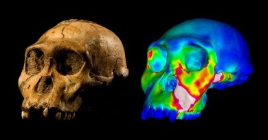 "The fossilized skull of Australopithecus sediba specimen MH1 and a finite element model of its cranium depicting strains experienced during a simulated bite on its premolars. ""Warm"" colors indicate regions of high strain, ""cool"" colors indicate regions of low strain. Credit WUSTL GRAPHIC: Image of MH1 by Brett Eloff provided courtesy of Lee Berger and the University of the Witwatersrand."