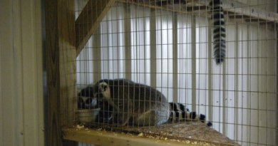 Lemurs in a cage