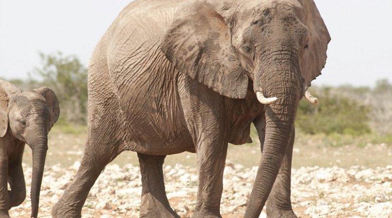 Photo by Peter Prokosch | Elephants (Loxodonta africana) at waterhole, Etoscha National Park, Namibia