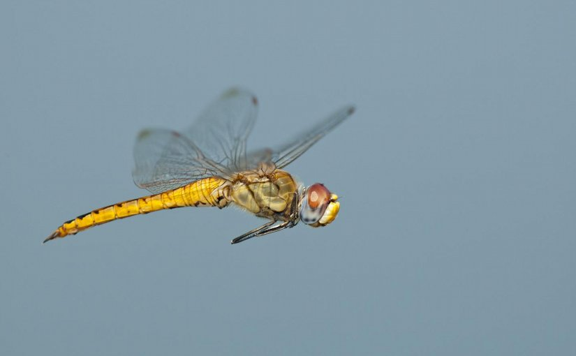 The body and wings of the dragonfly Pantala flavescens have evolved in a way that lets the insect glide extraordinary distances on weather currents. Credit Photo: Greg Lasley