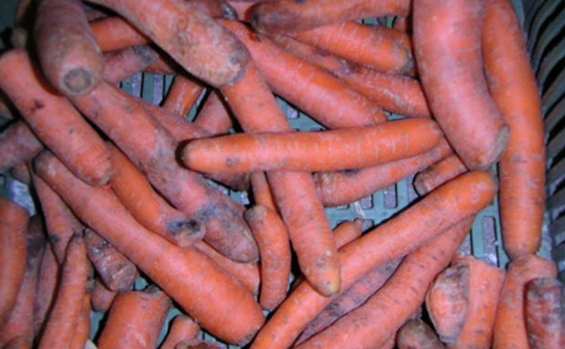 Carrots thrown in the garbage.