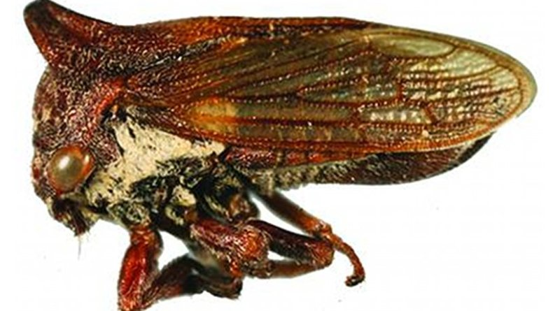 This is Selenacentrus wallacei, a newly discovered genus and species of treehopper found in Texas and Northern Mexico. They new genus is named after the singer Selena Quintanilla, who was known as the 'Queen of Tejano Music.' The new species is called wallacei in honor of Matthew S. Wallace, a biology professor from East Stroudsburg University. Credit Entomological Society of America