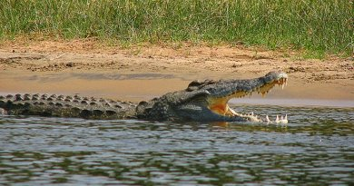 Example of a Nile crocodile. Photo by Tim Muttoo, Wikipedia Commons.