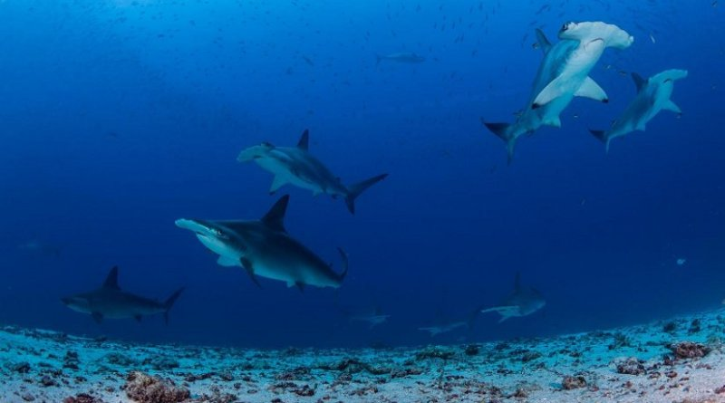 A group of hammerhead sharks swims over the sandy seafloor populated with garden eels at Darwin Island. These sharks are known for their ability to make sudden and sharp turns as the unique wide-set placement of their eyes allows them a vertical 360-degree view, which is ideal for stalking their prey. Credit Photo by Enric Sala/National Geographic, from 'National Geographic Pristine Seas'