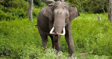 Asian Elephant. Photo by Yathin S Krishnappa, Wikipedia Commons.