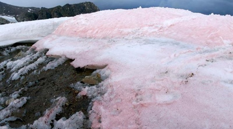 Red pigmented snow algae darken the surface of snow and ice in the Arctic. Credit Liane G. Benning/GFZ