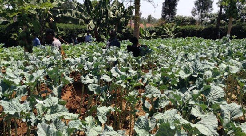 Vegetable garden on Albert Waweru's farm at Kasarani on the outskirts in Nairobi. Credit: Justus Wanzala | IDN-INPS