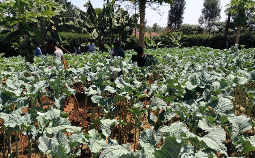 Vegetable garden on Albert Waweru's farm at Kasarani on the outskirts in Nairobi. Credit: Justus Wanzala | IDN-INPS