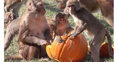 Rhesus macaque monkeys that were less certain about their social position had higher levels of inflammatory proteins than those with more certainty, a study at the California National Primate Research Center at UC Davis found. The results suggest that social uncertainty might impact health. Credit California National Primate Research Center