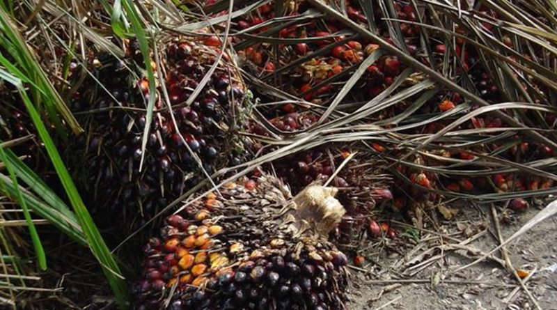 Elaeis guineensis fruits on palm tree. Photo by Bongoman, Wikipedia Commons.