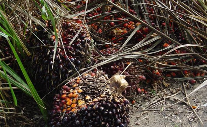 Elaeis guineensis fruits on palm tree. Photo by Bongoman, Wikipedia Commons.